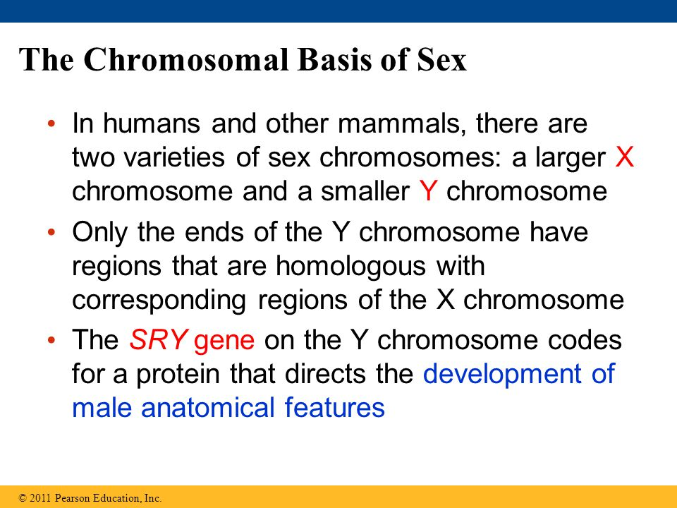 The Chromosomal Basis of Sex In humans and other mammals, there are two varieties of sex chromosomes: a larger X chromosome and a smaller Y chromosome Only the ends of the Y chromosome have regions that are homologous with corresponding regions of the X chromosome The SRY gene on the Y chromosome codes for a protein that directs the development of male anatomical features © 2011 Pearson Education, Inc.