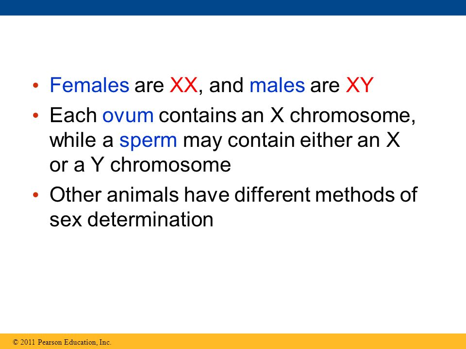 Females are XX, and males are XY Each ovum contains an X chromosome, while a sperm may contain either an X or a Y chromosome Other animals have different methods of sex determination © 2011 Pearson Education, Inc.
