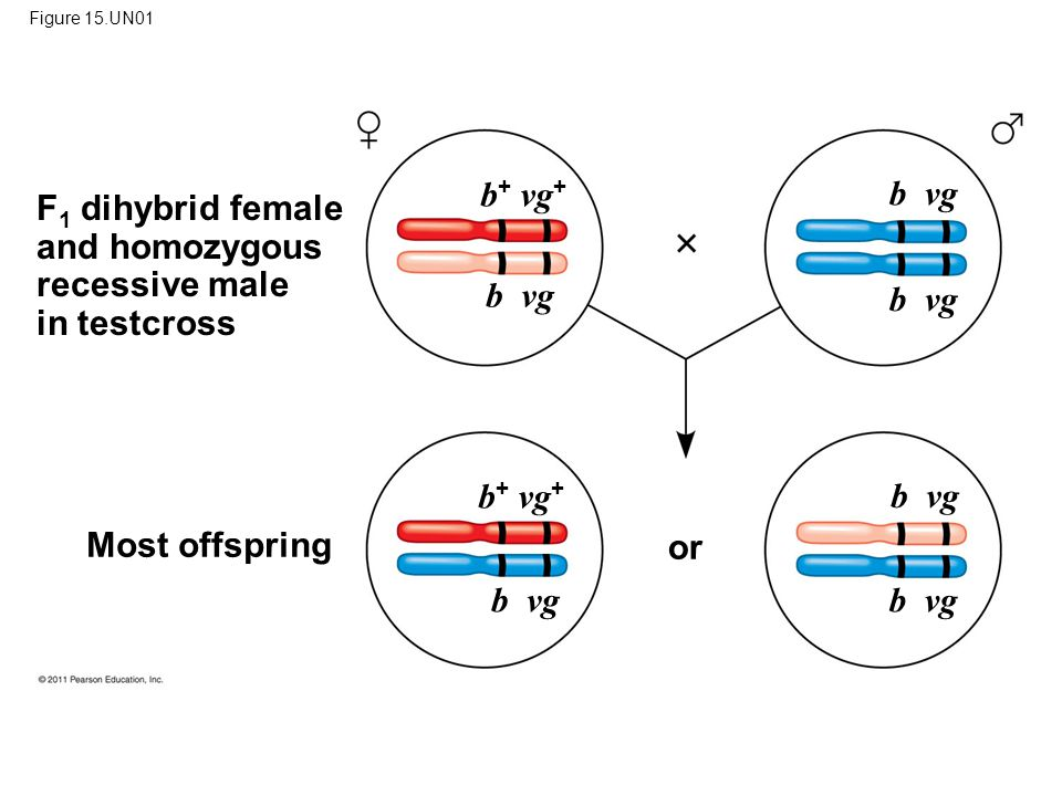 Figure 15.UN01 Most offspring F 1 dihybrid female and homozygous recessive male in testcross or b + vg + b vg b + vg + b vg