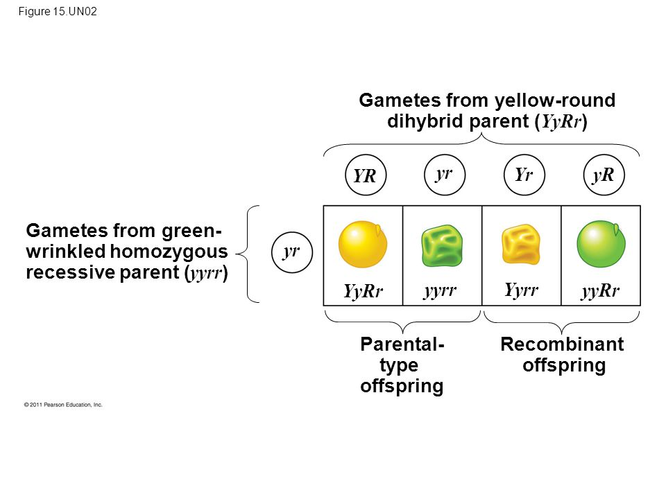 Figure 15.UN02 Gametes from green- wrinkled homozygous recessive parent ( yyrr ) Gametes from yellow-round dihybrid parent ( YyRr ) Recombinant offspring Parental- type offspring YR yr Yr yR yr YyRr yyrr Yyrr yyRr