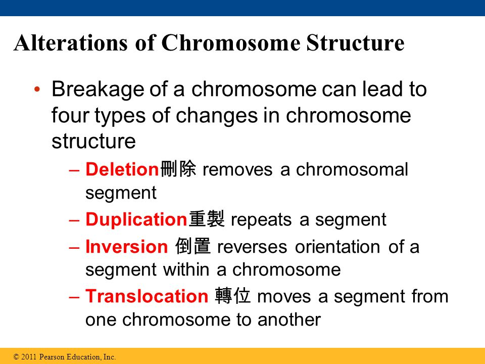 Alterations of Chromosome Structure Breakage of a chromosome can lead to four types of changes in chromosome structure –Deletion 刪除 removes a chromosomal segment –Duplication 重製 repeats a segment –Inversion 倒置 reverses orientation of a segment within a chromosome –Translocation 轉位 moves a segment from one chromosome to another © 2011 Pearson Education, Inc.