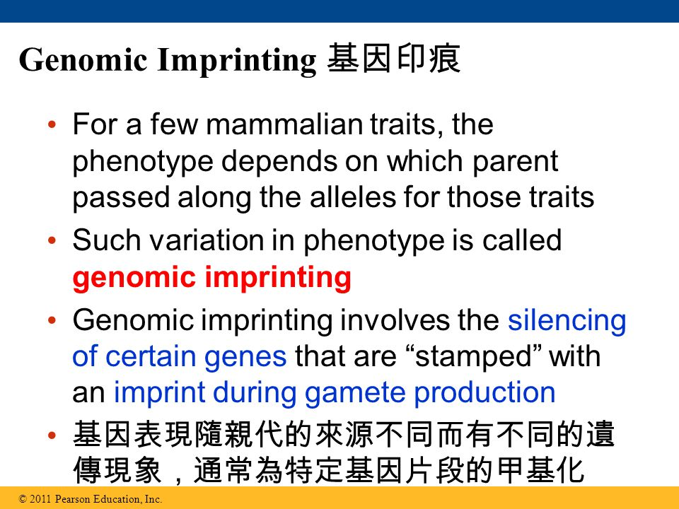Genomic Imprinting 基因印痕 For a few mammalian traits, the phenotype depends on which parent passed along the alleles for those traits Such variation in phenotype is called genomic imprinting Genomic imprinting involves the silencing of certain genes that are stamped with an imprint during gamete production 基因表現隨親代的來源不同而有不同的遺 傳現象,通常為特定基因片段的甲基化 © 2011 Pearson Education, Inc.
