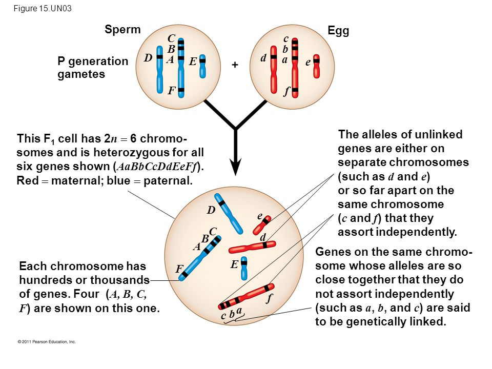 Figure 15.UN03 P generation gametes Sperm Egg This F 1 cell has 2 n  6 chromo- somes and is heterozygous for all six genes shown ( AaBbCcDdEeFf ).