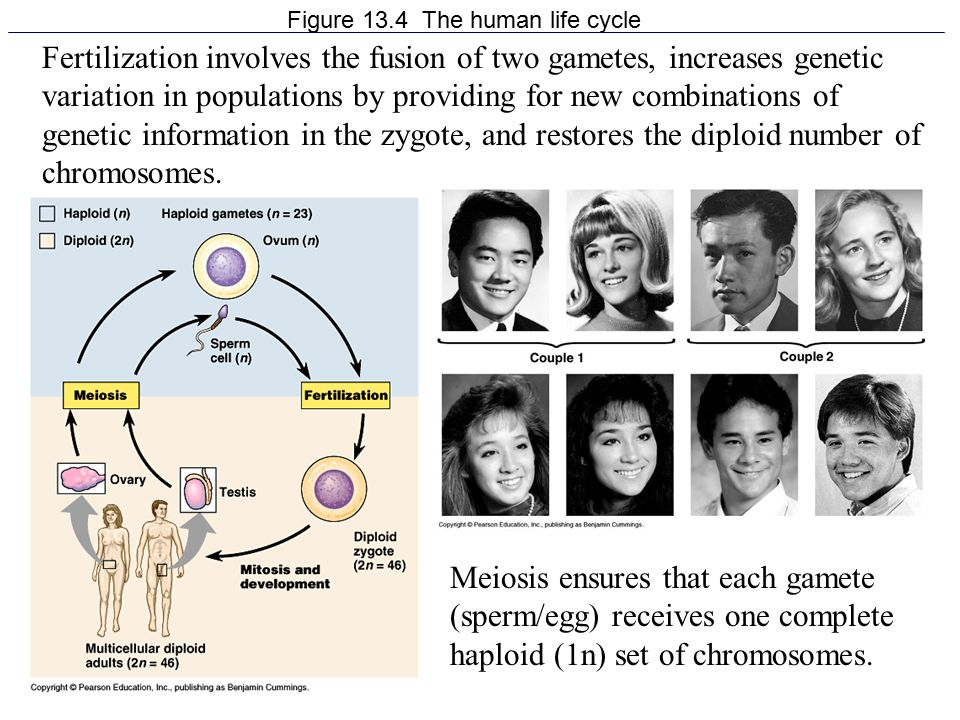 INTERPHASE I Cell grows by producing proteins (cyclin) and organelles Chromosomes replicate Centrosomes/centrioles replicate Preparation for cell division