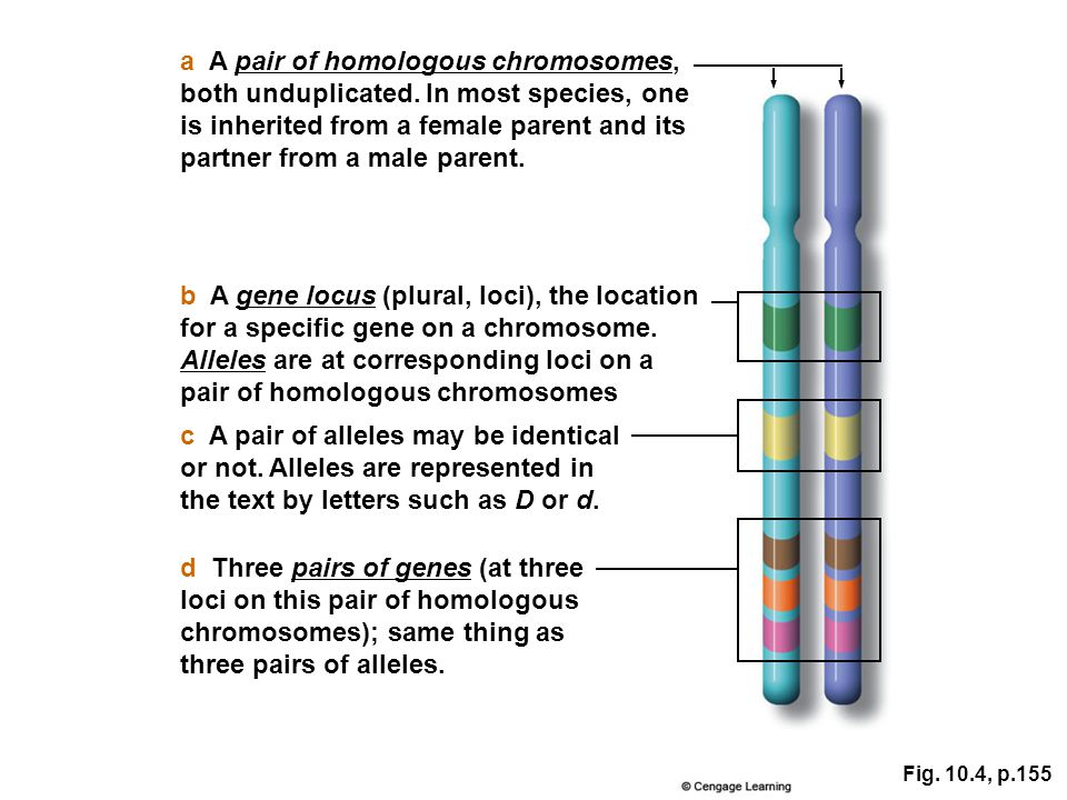 b A gene locus (plural, loci), the location for a specific gene on a chromosome. Alleles are at corresponding loci on a pair of homologous chromosomes