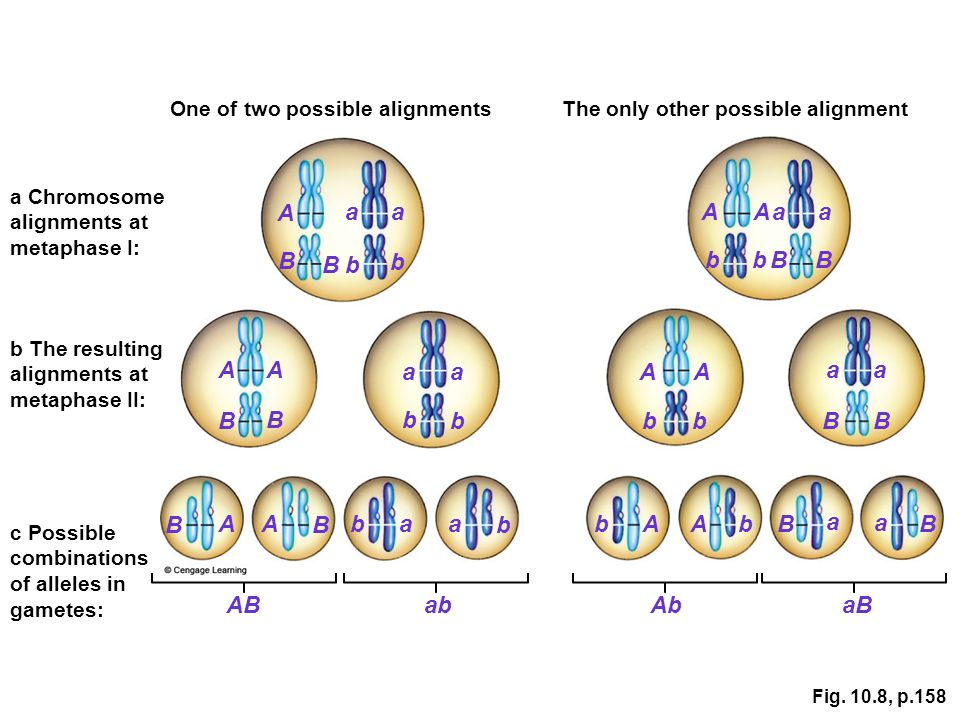 Fig. 10.8, p.158 One of two possible alignmentsThe only other possible alignment c Possible combinations of alleles in gametes: b The resulting alignm