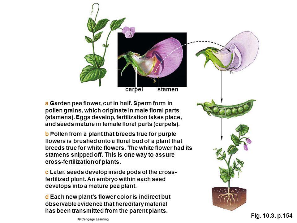 a Garden pea flower, cut in half. Sperm form in pollen grains, which originate in male floral parts (stamens). Eggs develop, fertilization takes place