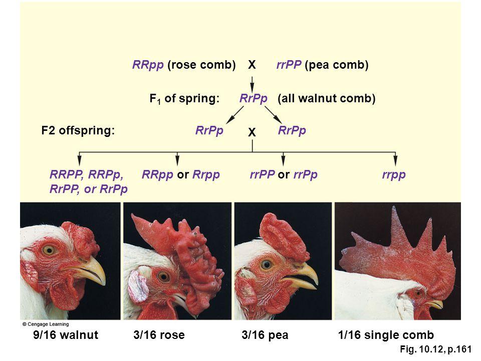 Fig. 10.12, p.161 9/16 walnut3/16 rose3/16 pea1/16 single comb F2 offspring: RRpp (rose comb)XrrPP (pea comb) F 1 of spring:RrPp(all walnut comb) RrPp