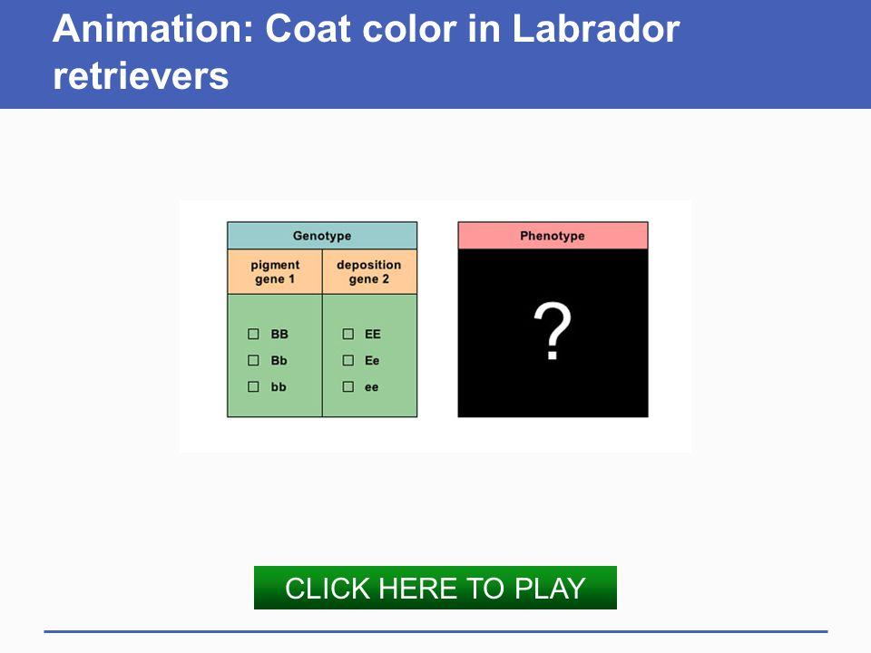Animation: Coat color in Labrador retrievers CLICK HERE TO PLAY