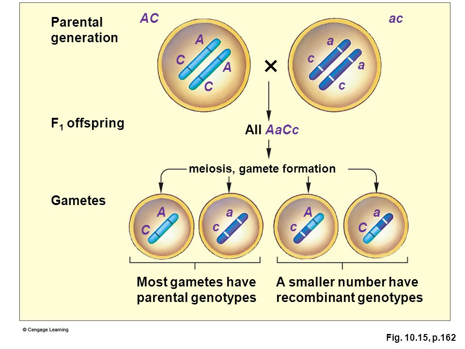 Fig. 10.15, p.162 Parental generation F 1 offspring Gametes Most gametes have parental genotypes A smaller number have recombinant genotypes meiosis,