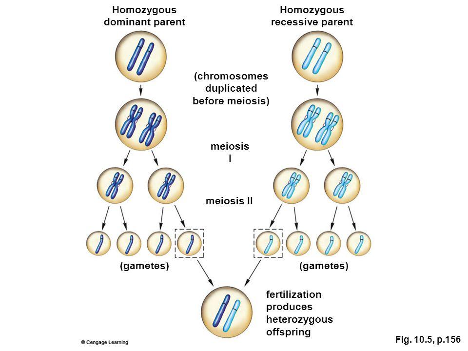 fertilization produces heterozygous offspring meiosis II meiosis I (chromosomes duplicated before meiosis) Homozygous dominant parent Homozygous reces
