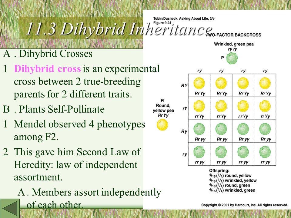 11.3 Dihybrid Inheritance A.