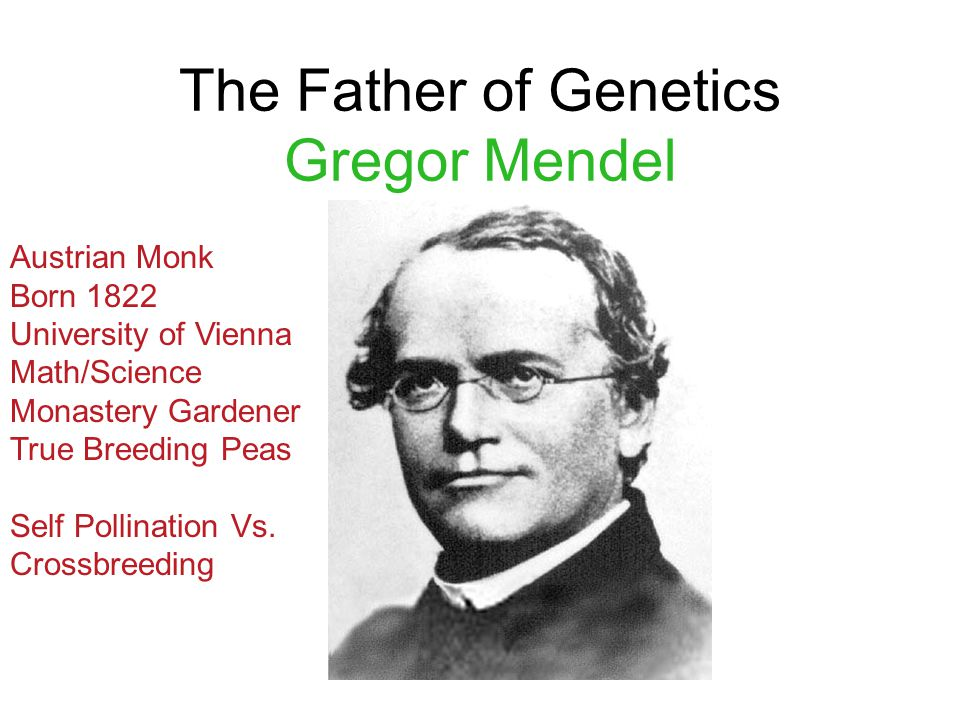 The Father of Genetics Gregor Mendel Austrian Monk Born 1822 University of Vienna Math/Science Monastery Gardener True Breeding Peas Self Pollination Vs.