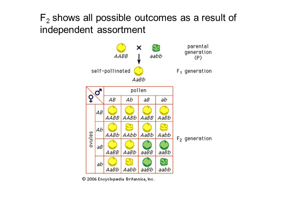 F 2 shows all possible outcomes as a result of independent assortment