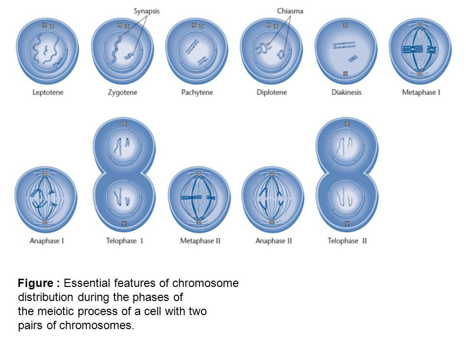 Figure : Essential features of chromosome distribution during the phases of the meiotic process of a cell with two pairs of chromosomes.