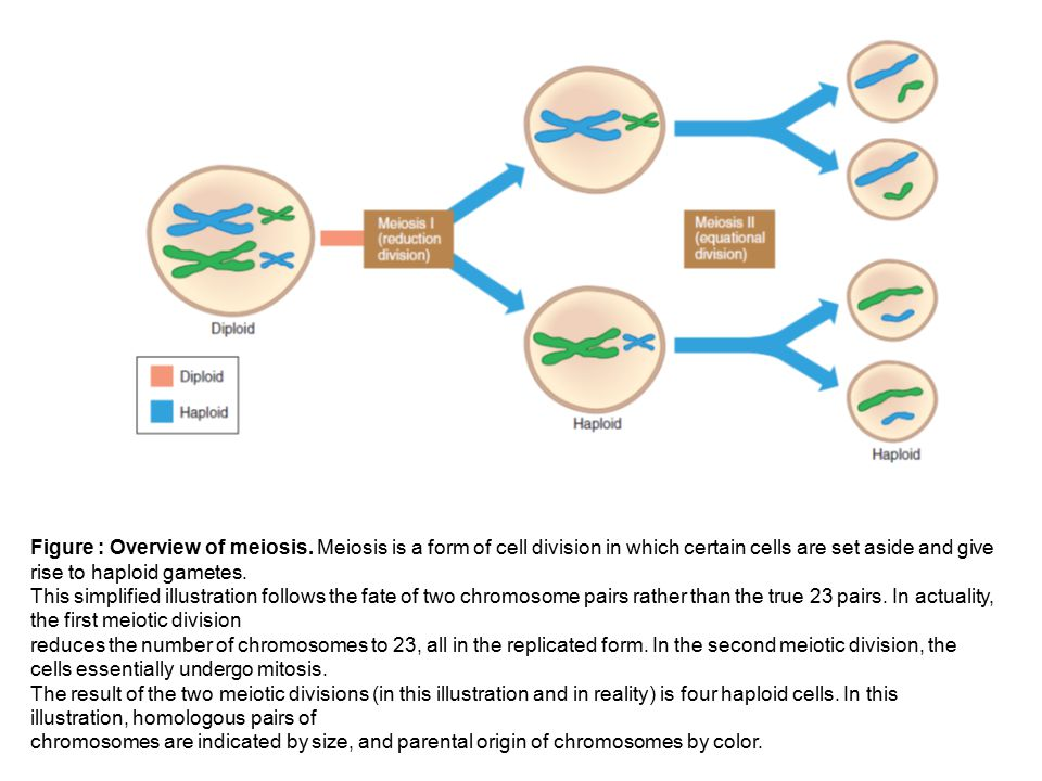 Figure : Overview of meiosis. Meiosis is a form of cell division in which certain cells are set aside and give rise to haploid gametes. This simplifie
