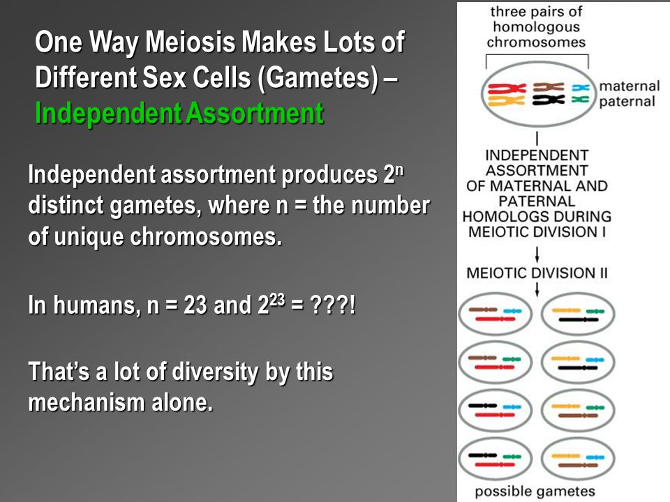 One Way Meiosis Makes Lots of Different Sex Cells (Gametes) – Independent Assortment Independent assortment produces 2 n distinct gametes, where n = t