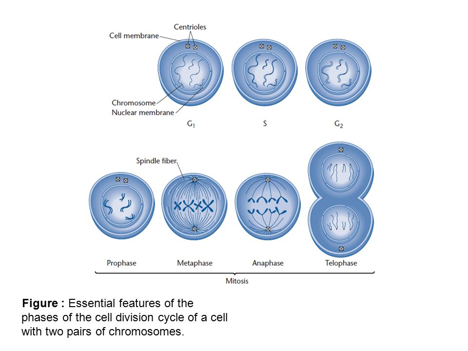 Figure : Essential features of the phases of the cell division cycle of a cell with two pairs of chromosomes.