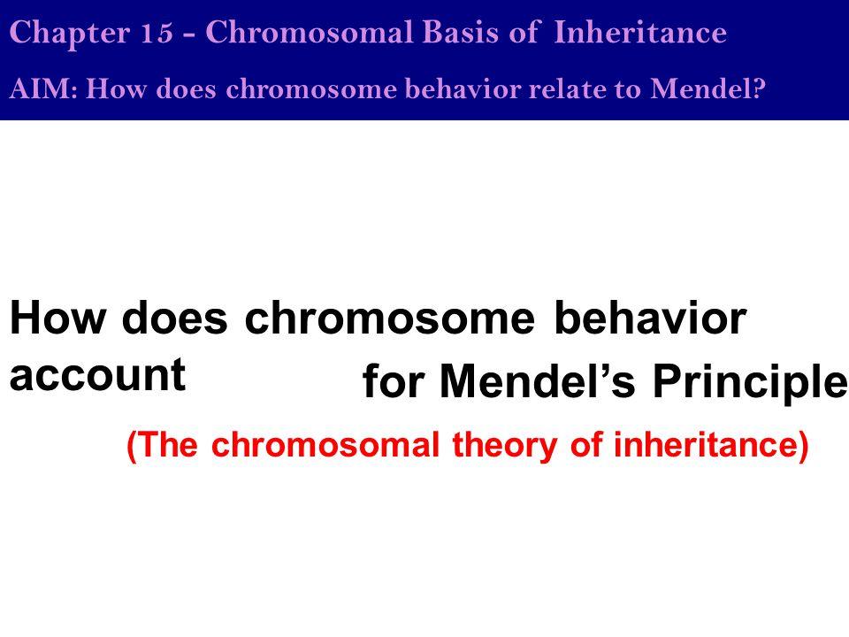 How does chromosome behavior account Chapter 15 - Chromosomal Basis of Inheritance AIM: How does chromosome behavior relate to Mendel.