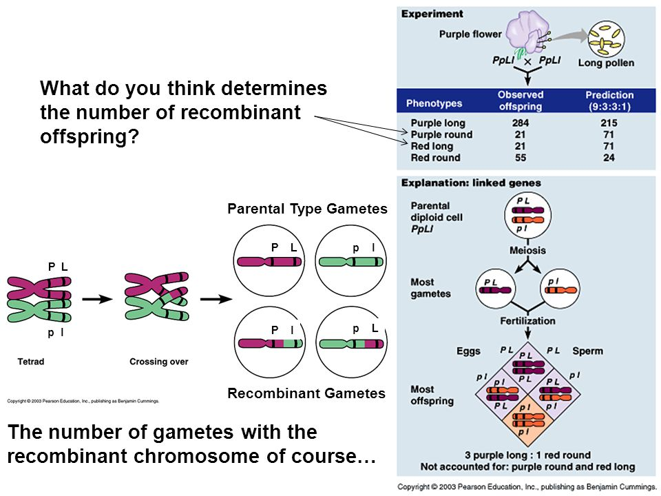 What do you think determines the number of recombinant offspring.