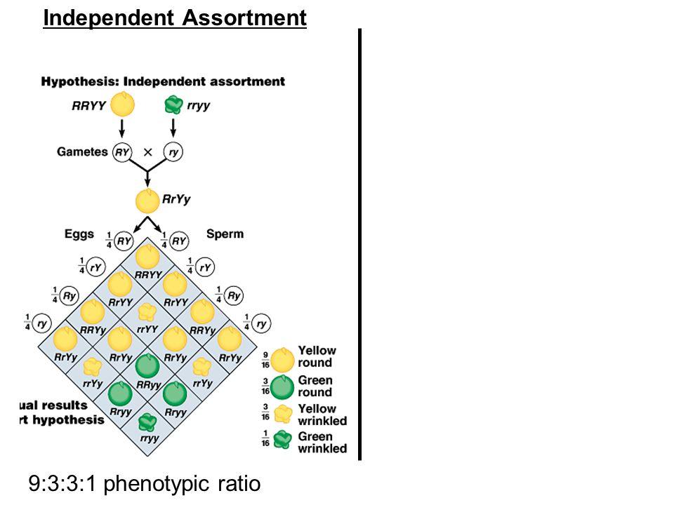 9:3:3:1 phenotypic ratio Independent Assortment