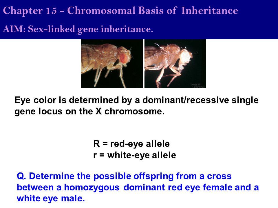 Chapter 15 - Chromosomal Basis of Inheritance AIM: Sex-linked gene inheritance. Eye color is determined by a dominant/recessive single gene locus on t