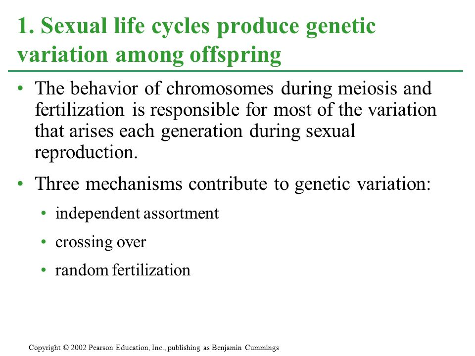 Independent assortment of chromosomes contributes to genetic variability due to the random orientation of tetrads at the metaphase plate.