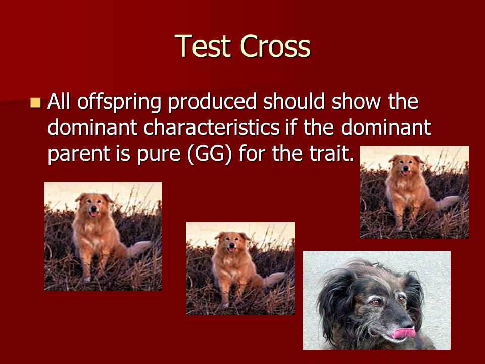 Test Cross All offspring produced should show the dominant characteristics if the dominant parent is pure (GG) for the trait. All offspring produced s