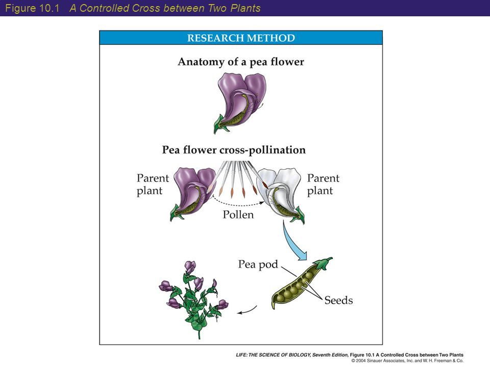 10 Gene Interactions When two homozygous strains of plants or animals are crossed, the offspring are often phenotypically stronger, larger, and more vigorous than either parent.