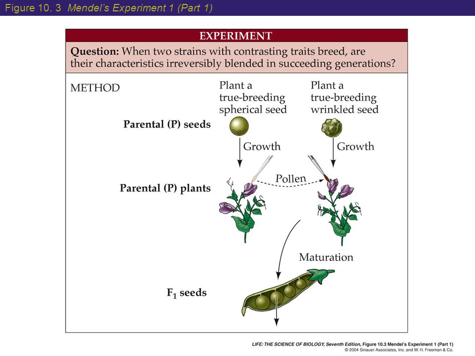 10 Mendel's Experiments and Laws of Inheritance How do we determine if a purple flowering plant is SS or Ss.