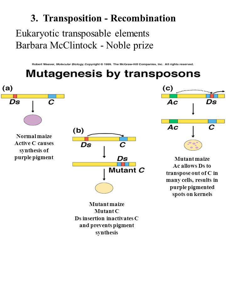 3. Transposition - Recombination Eukaryotic transposable elements Barbara McClintock - Noble prize Normal maize Active C causes synthesis of purple pi