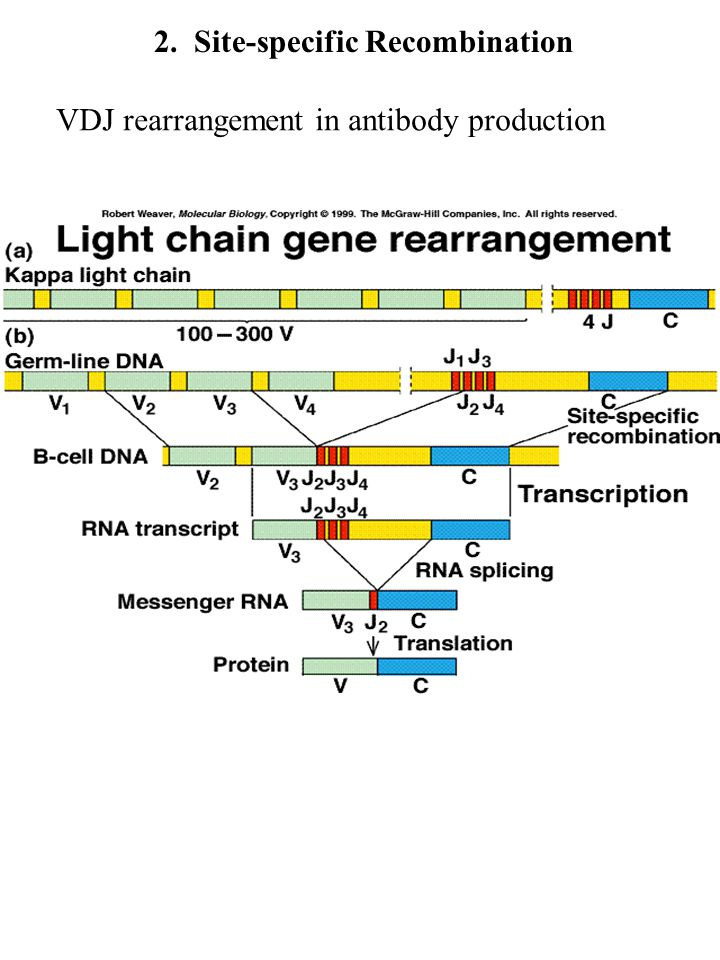 2. Site-specific Recombination VDJ rearrangement in antibody production
