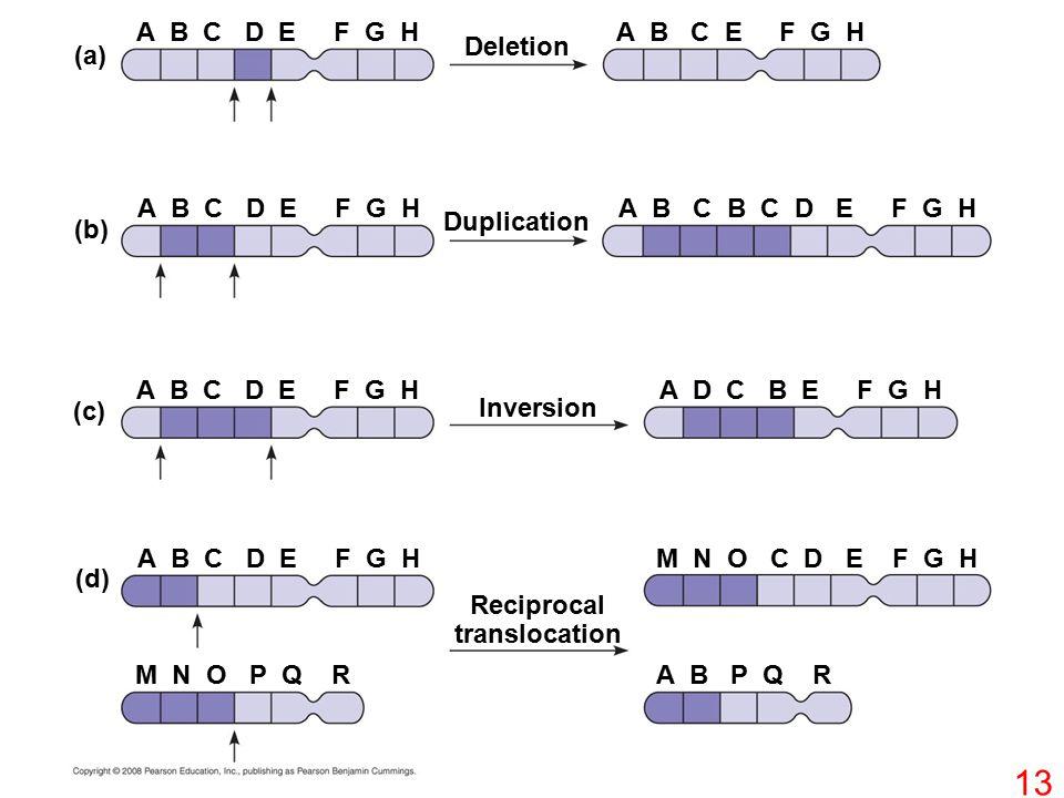 Deletion A B C D E F G HA B C E F G H (a) (b) (c) (d) Duplication Inversion Reciprocal translocation A B C D E F G H A B C B C D E F G H A D C B E F G H M N O C D E F G H M N O P Q RA B P Q R 13