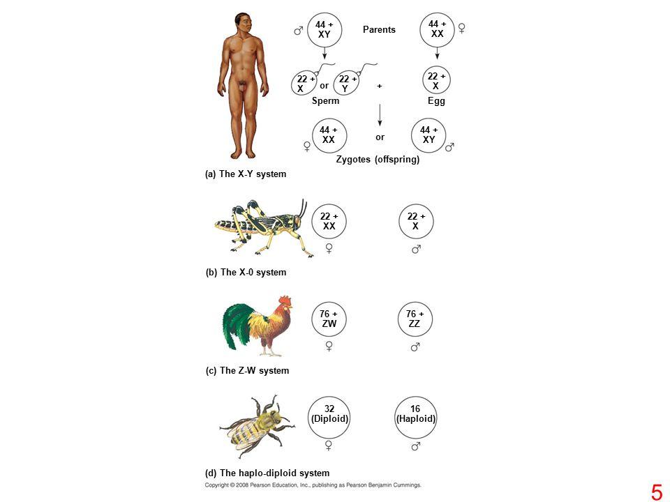 44 + XY Parents 44 + XX 22 + X 22 + X 22 + Y or + 44 + XX or Sperm Egg 44 + XY Zygotes (offspring) (a) The X-Y system 22 + XX 22 + X (b) The X-0 syste