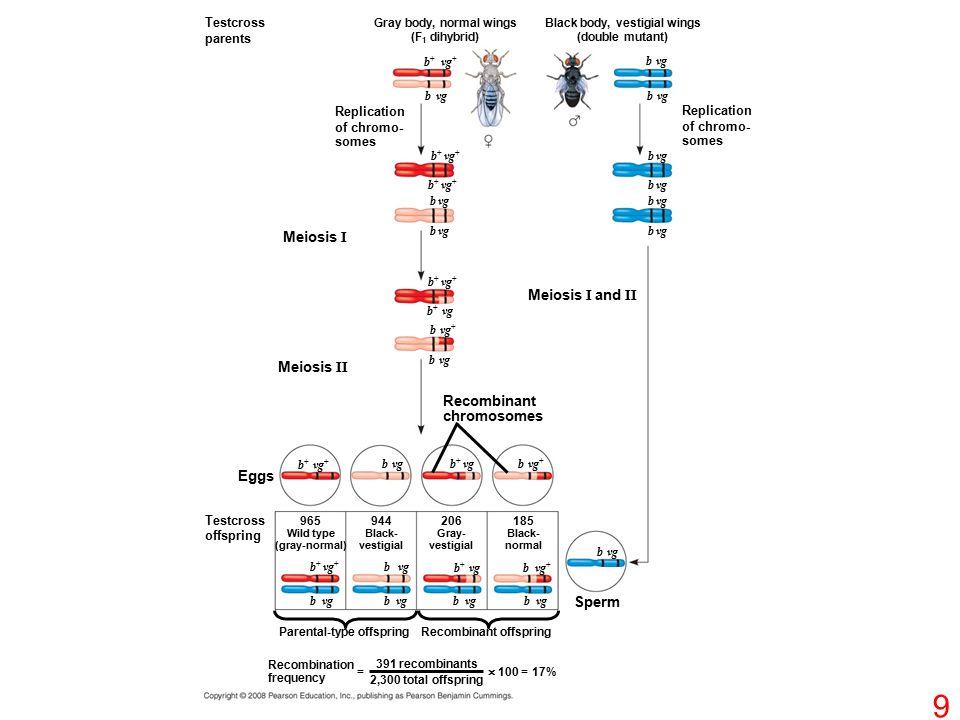 Testcross parents Replication of chromo- somes Gray body, normal wings (F 1 dihybrid) Black body, vestigial wings (double mutant) Replication of chromo- somes b + vg + b vg b + vg + b + vg b vg + b vg Recombinant chromosomes Meiosis I and II Meiosis I Meiosis II b vg + b + vg b vg b + vg + Eggs Testcross offspring 965 Wild type (gray-normal) 944 Black- vestigial 206 Gray- vestigial 185 Black- normal b + vg + b vg b + vg b vg b vg + Sperm b vg Parental-type offspringRecombinant offspring Recombination frequency = 391 recombinants 2,300 total offspring  100 = 17% 9