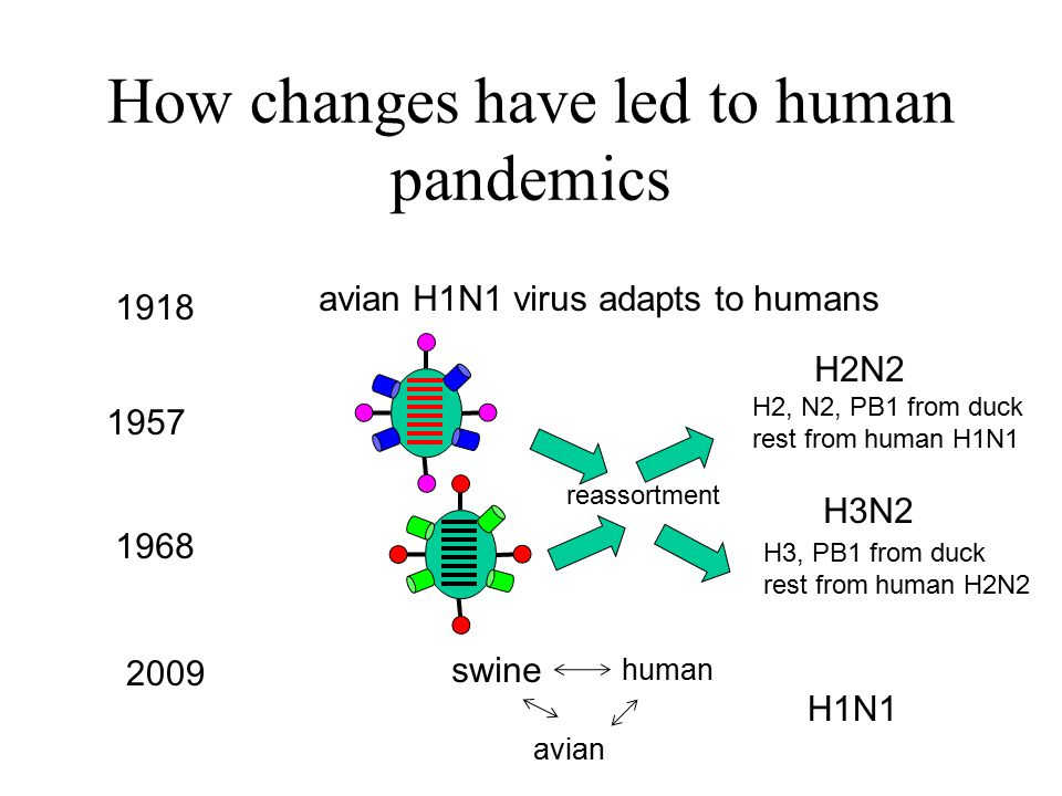 How changes have led to human pandemics 1918 1957 1968 2009 avian H1N1 virus adapts to humans reassortment H2, N2, PB1 from duck rest from human H1N1 H3, PB1 from duck rest from human H2N2 H2N2 H3N2 swine human avian H1N1