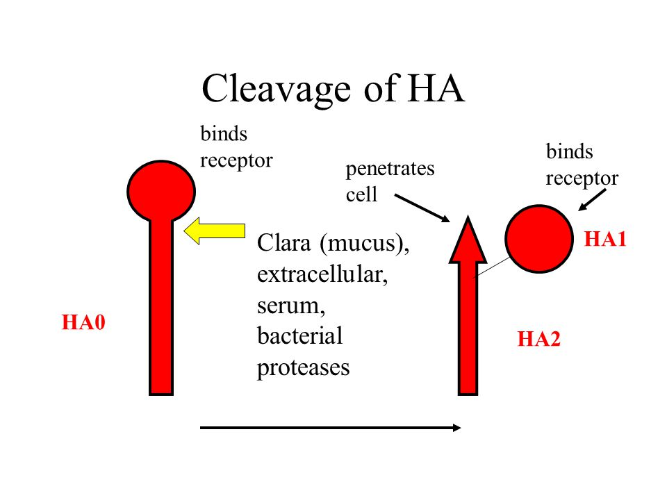 Cleavage of HA Clara (mucus), extracellular, serum, bacterial proteases HA0 HA1 HA2 binds receptor binds receptor penetrates cell
