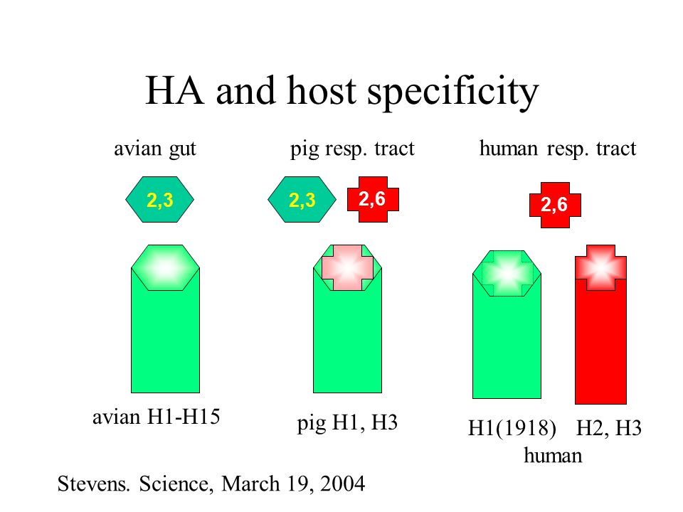 Why does avian H5N1spread inefficiently between humans Shinya et al.