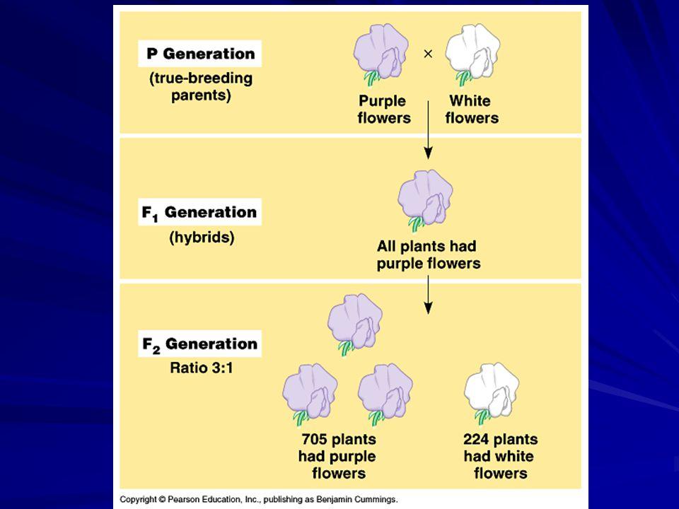 PPPp Pppp Pp P p 3:1 Phenotypic ratio 1:2:1 Genotypic ratio F2 Sperm Eggs