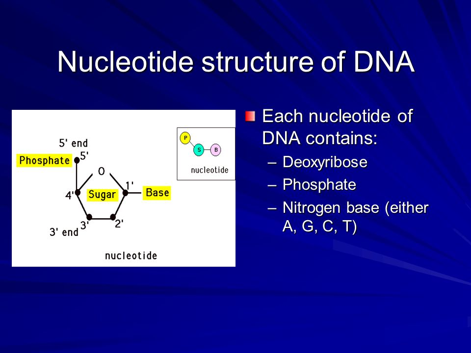 DNA Functions 1. Storage of genetic information 2.