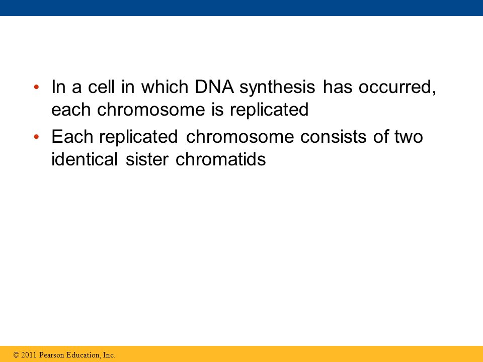 In a cell in which DNA synthesis has occurred, each chromosome is replicated Each replicated chromosome consists of two identical sister chromatids ©