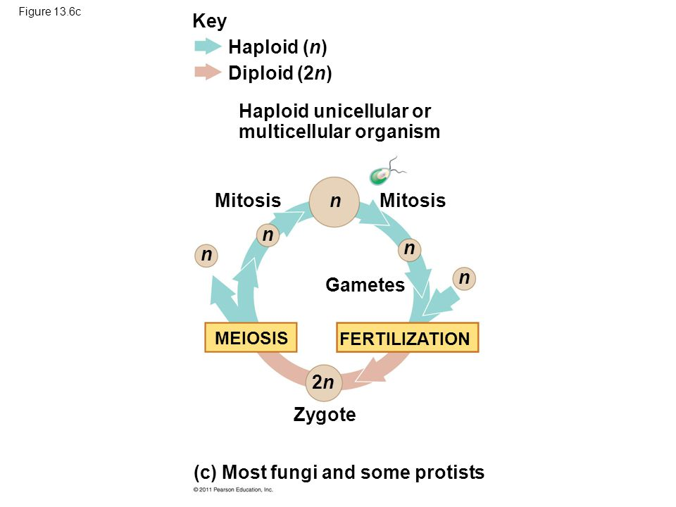 Figure 13.6c Key Haploid (n) Diploid (2n) 2n2n n n n n n MEIOSIS FERTILIZATION Mitosis Gametes Zygote Haploid unicellular or multicellular organism (c) Most fungi and some protists