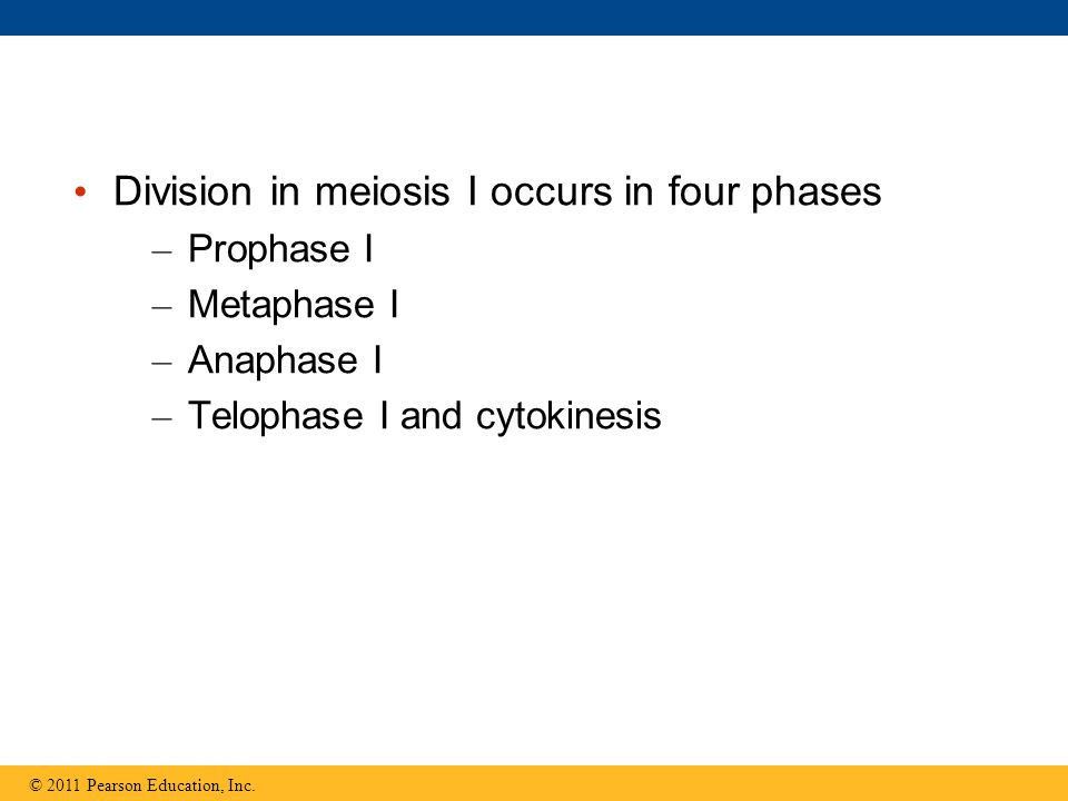 Division in meiosis I occurs in four phases – Prophase I – Metaphase I – Anaphase I – Telophase I and cytokinesis © 2011 Pearson Education, Inc.