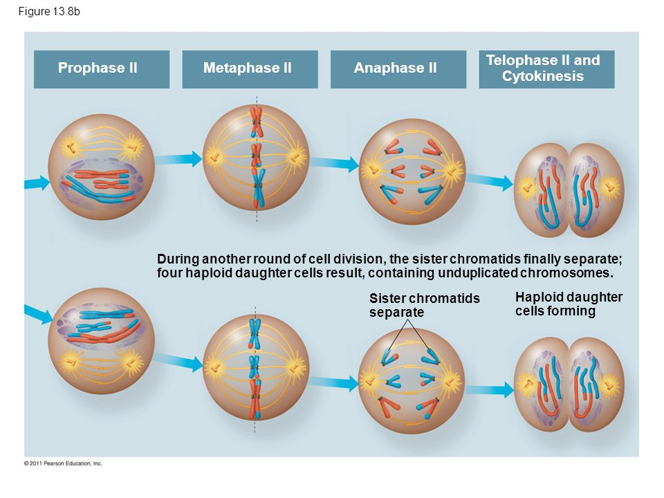 Figure 13.8b Prophase II Metaphase II Anaphase II Telophase II and Cytokinesis Sister chromatids separate Haploid daughter cells forming During anothe