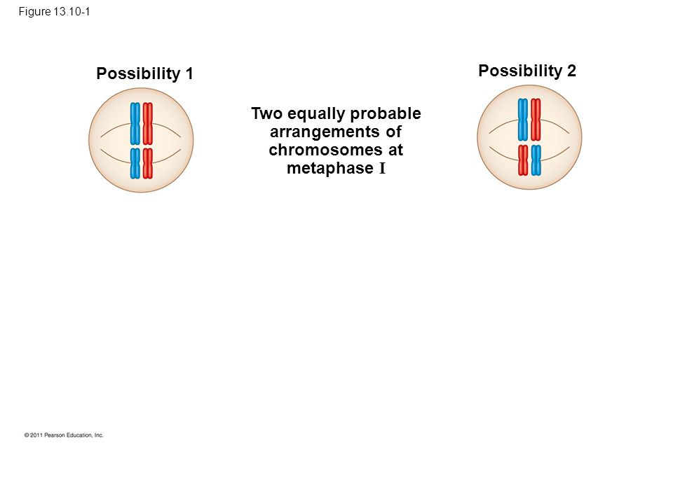 Figure 13.10-1 Possibility 1 Possibility 2 Two equally probable arrangements of chromosomes at metaphase I