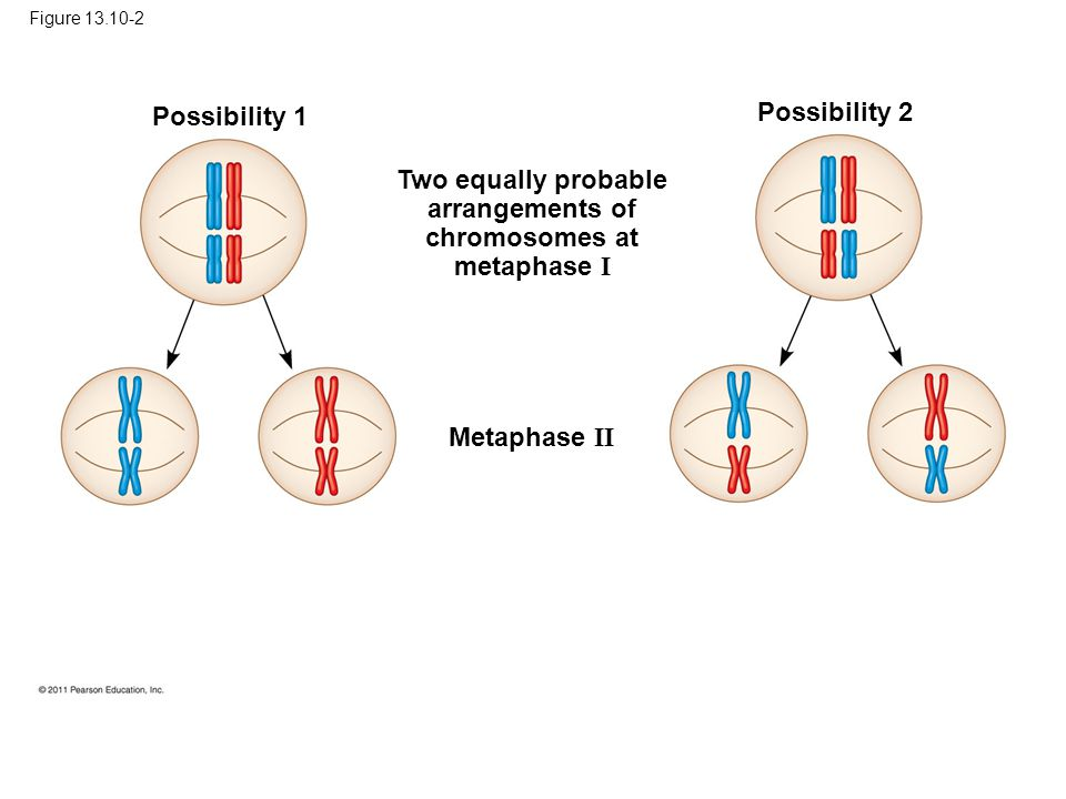 Figure 13.10-2 Possibility 1 Possibility 2 Two equally probable arrangements of chromosomes at metaphase I Metaphase II