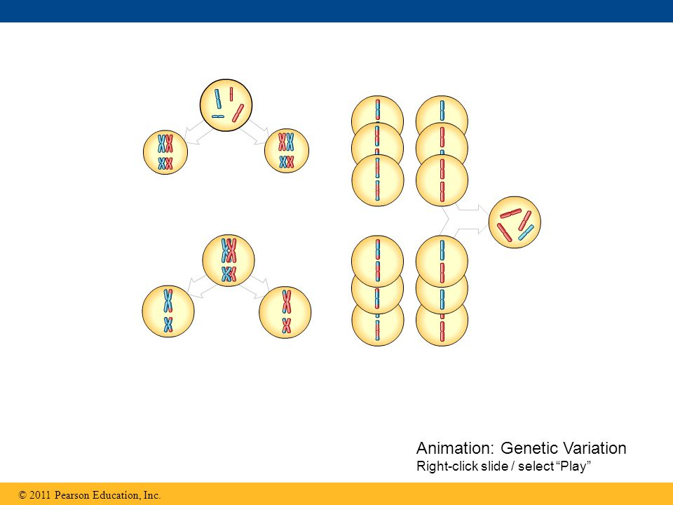 "Animation: Genetic Variation Right-click slide / select ""Play"""