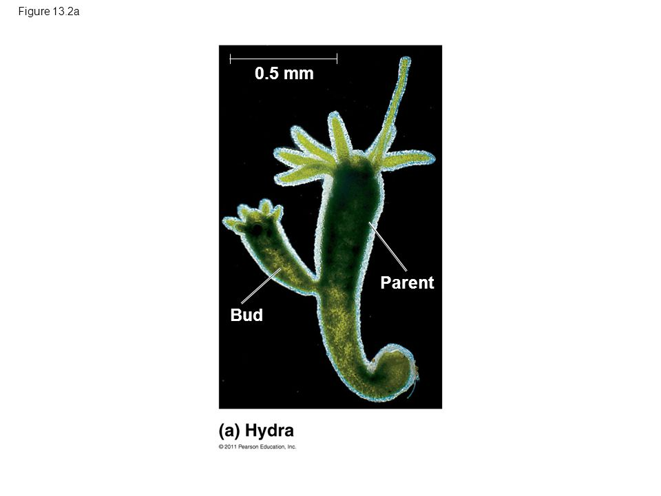 Each spore grows by mitosis into a haploid organism called a gametophyte A gametophyte makes haploid gametes by mitosis Fertilization of gametes results in a diploid sporophyte © 2011 Pearson Education, Inc.