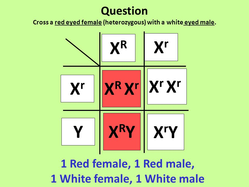 1 Red female, 1 Red male, 1 White female, 1 White male XrXr X R X r XRYXRY Y XRXR XrXr X r XrYXrY Question Cross a red eyed female (heterozygous) with a white eyed male.
