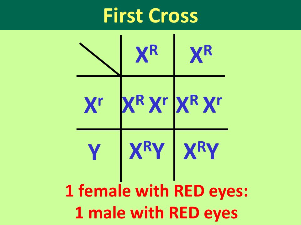 First Cross 1 female with RED eyes: 1 male with RED eyes XrXr X R X r XRYXRY Y XRXR XRXR XRYXRY